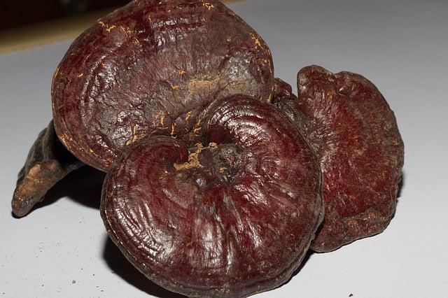Ganoderma - Reishi Pilz